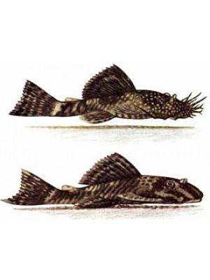 Ancistrus dolichopterus (Cüce Vatoz) -6-7 cm