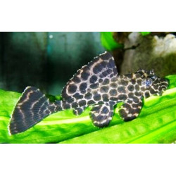 Pterygoplichthys gibbiceps-5-6 cm