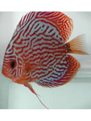 Symphsodon aequifasciatus (Discus)-10-12 cm