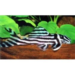 Hypancistrus zebra-L046-6-7 cm-