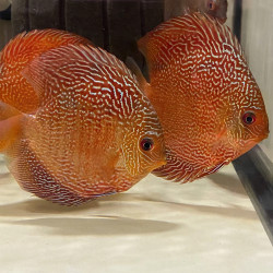 Discus Madness Red Snakeskin – 10-12 cm