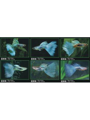 Lepistes (Poecilia reticulata)