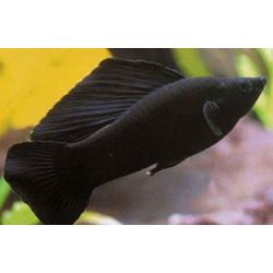 Siyah Moli (Poecilia sphenops)